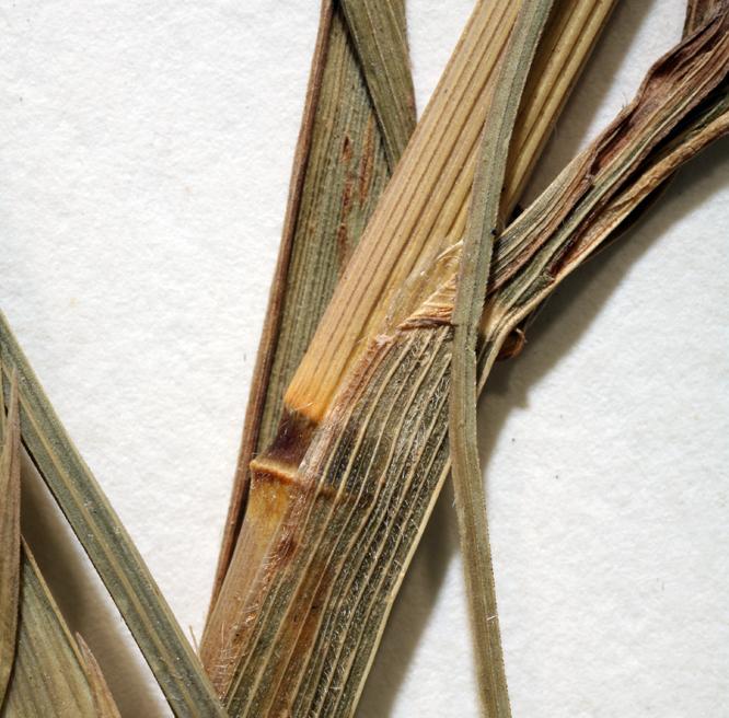 Bromus catharticus var. elatus