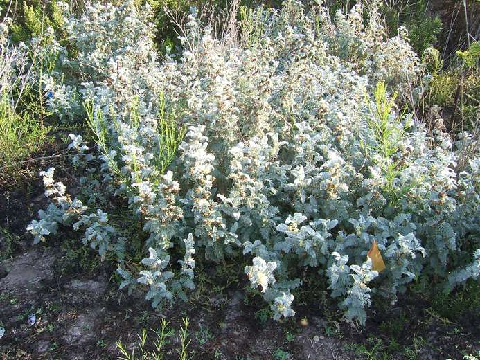 Astragalus pycnostachyus var. lanosissimus