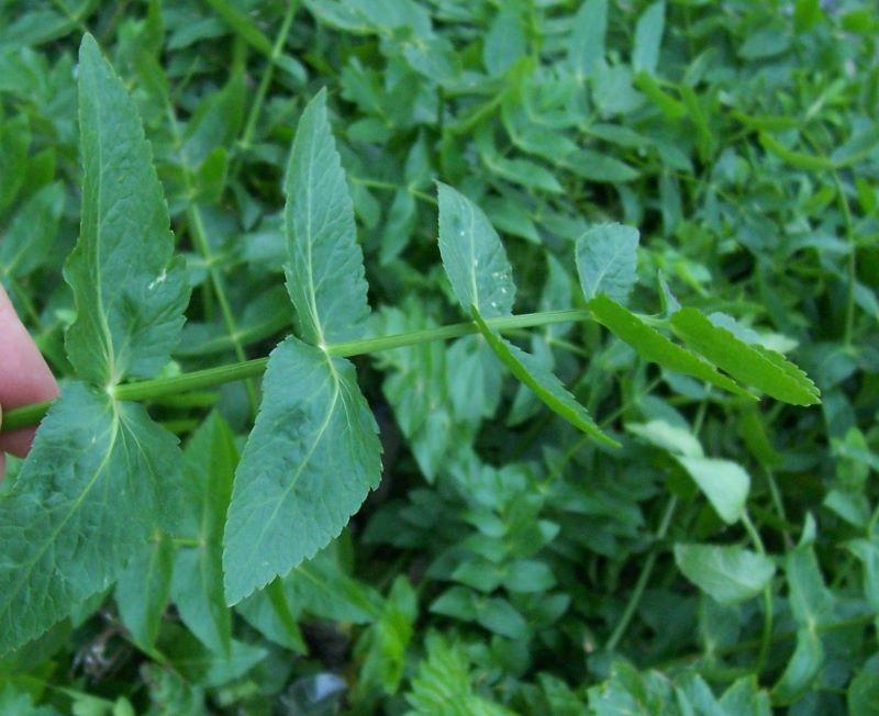 Apium nodiflorum