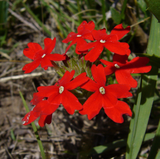 Glandularia peruviana image