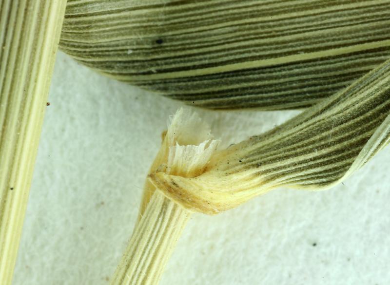 Elymus glaucus ssp. jepsonii