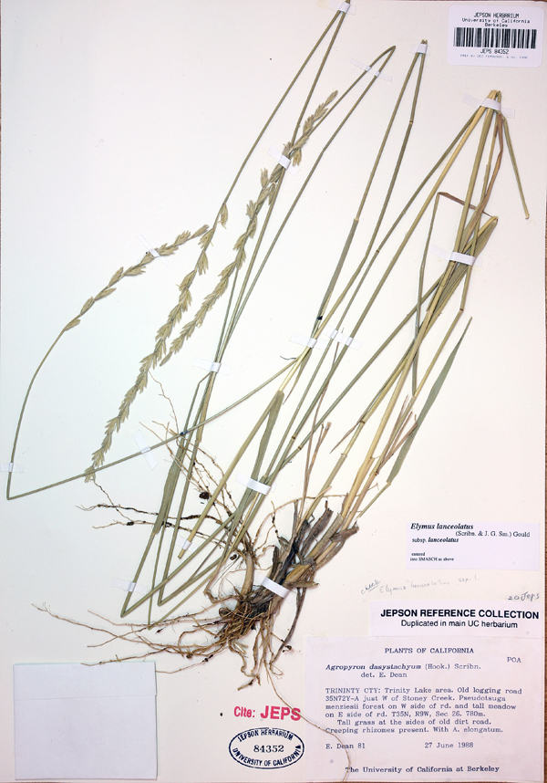 Elymus lanceolatus
