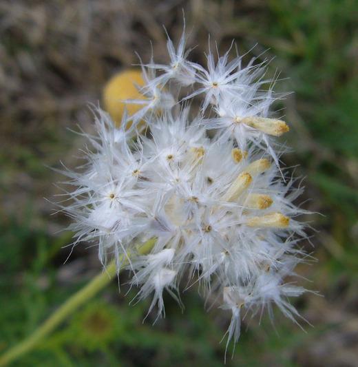 Gaillardia megapotamica image
