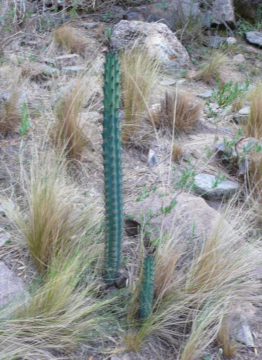 Cereus image