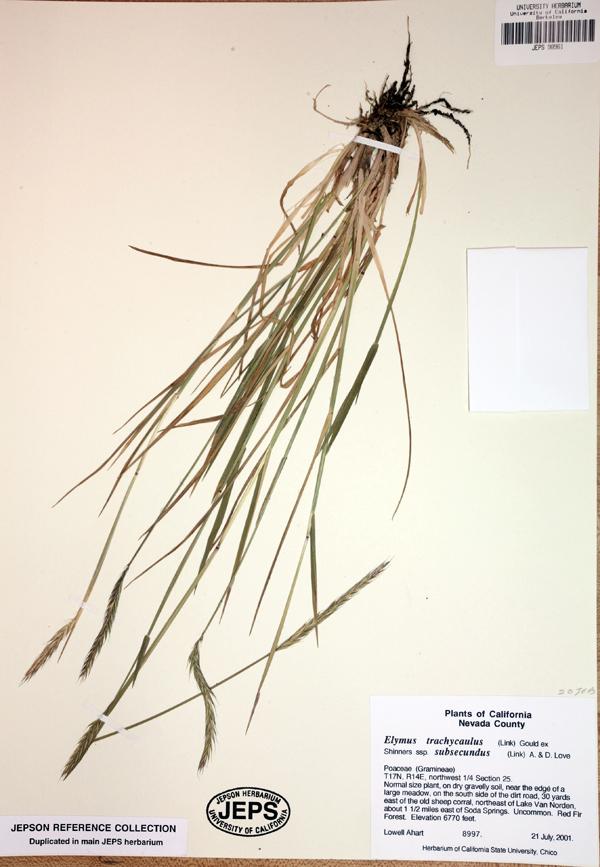 Elymus trachycaulus ssp. subsecundus