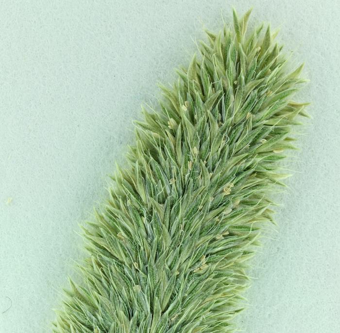 Koeleria phleoides