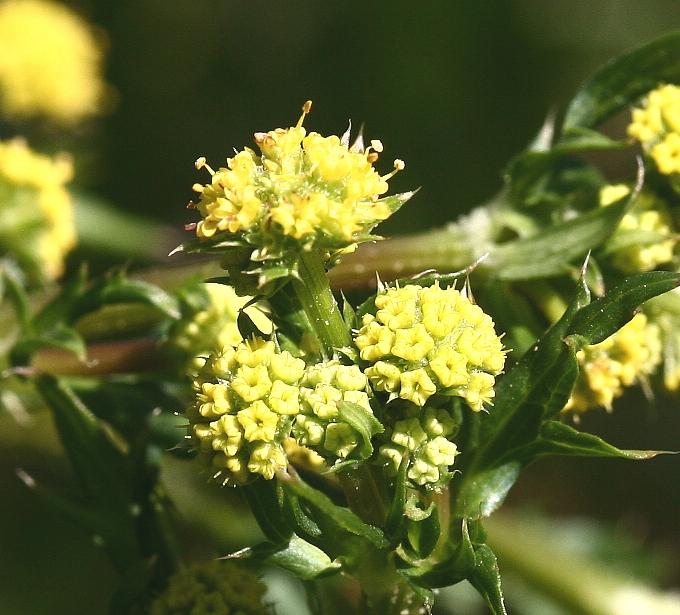 Sanicula crassicaulis