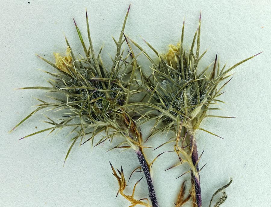 Navarretia nigelliformis ssp. nigelliformis