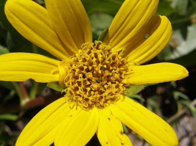 Wyethia longicaulis