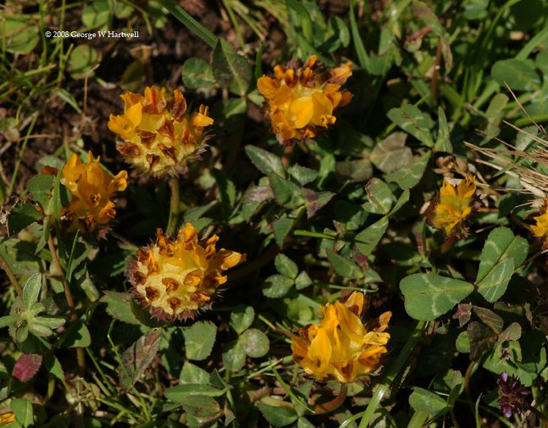 Trifolium jokerstii