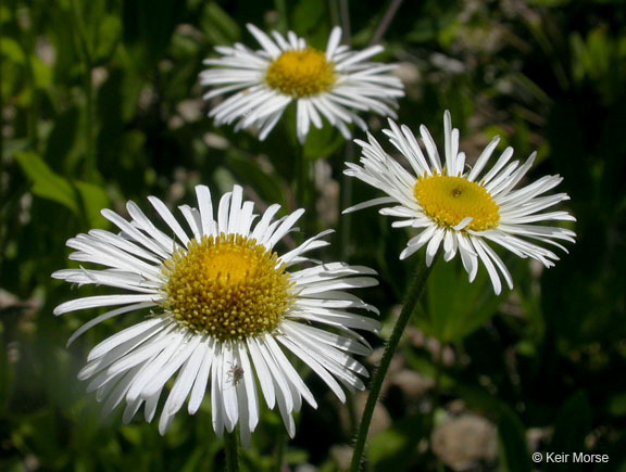 Image of Erigeron coulteri