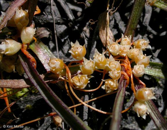 Cuscuta occidentalis