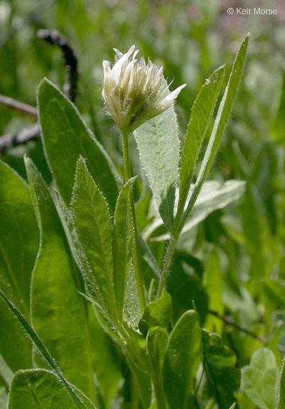 Trifolium longipes ssp. hansenii