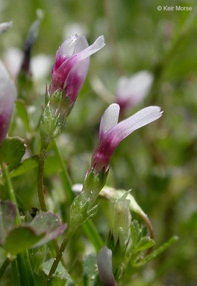 Trifolium monanthum
