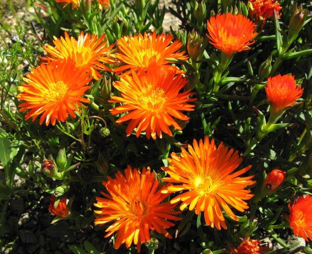 Lampranthus image