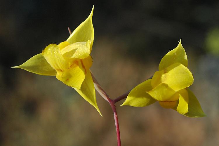Calochortus amabilis