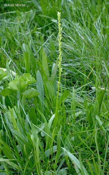 Platanthera yosemitensis
