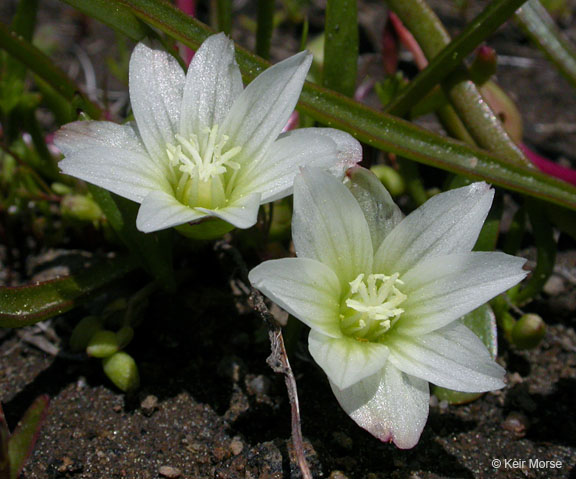 Image of Lewisia nevadensis