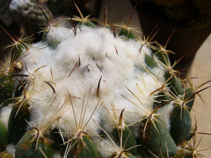 Coryphantha cornifera image