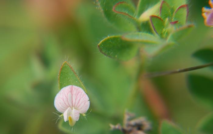 Lotus unifoliolatus var. unifoliolatus
