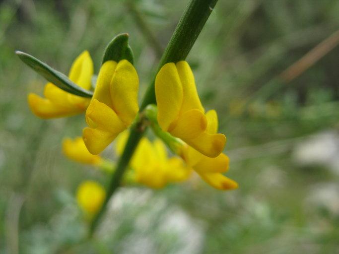 Acmispon glaber var. brevialatus