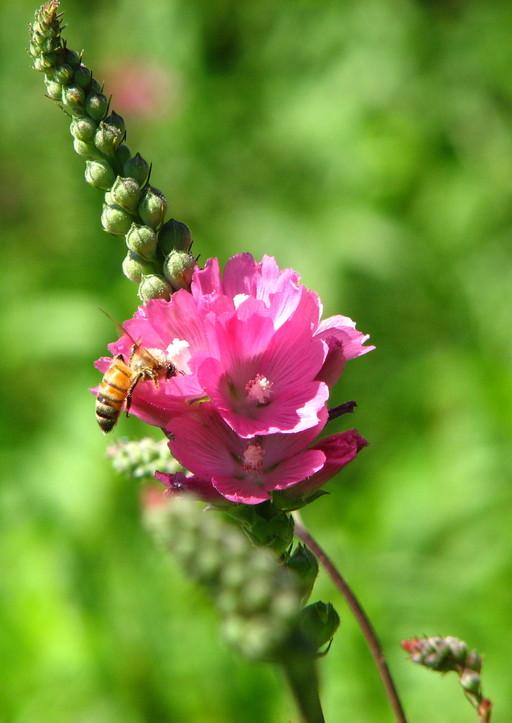 Sidalcea oregana ssp. valida