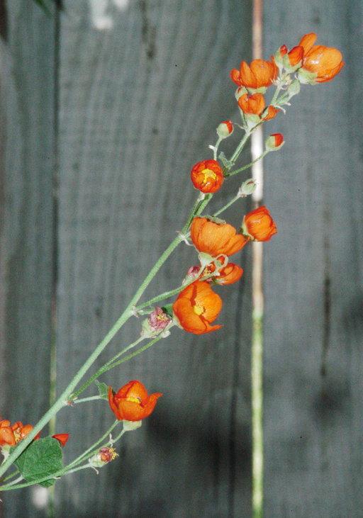 Sphaeralcea munroana