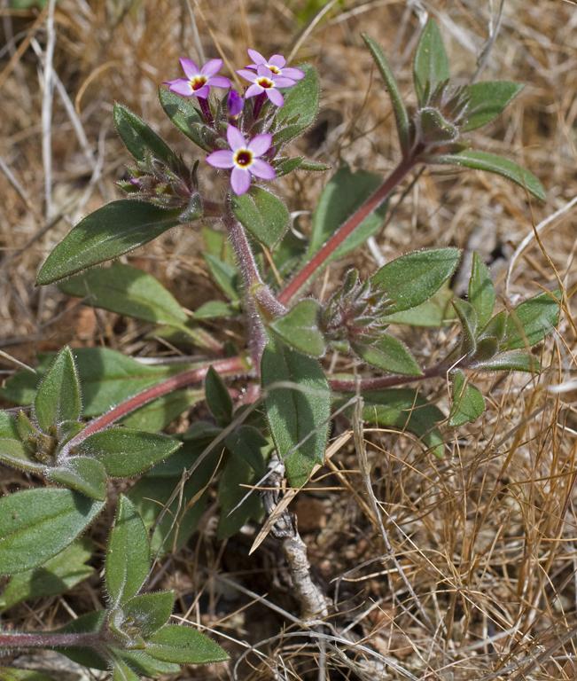 Collomia diversifolia