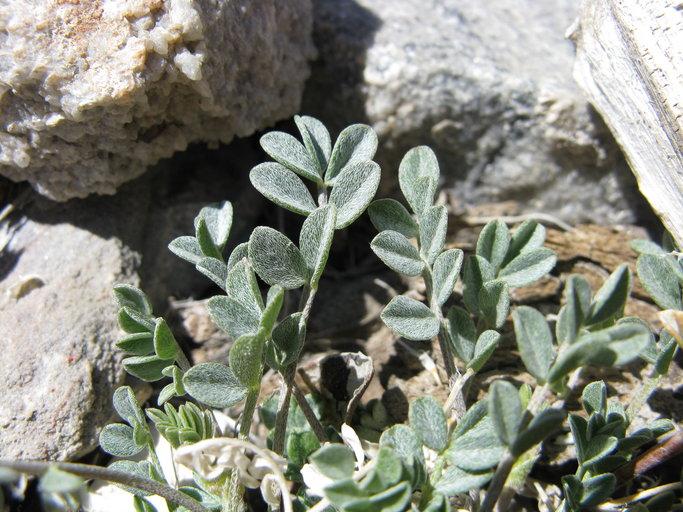 Astragalus albens