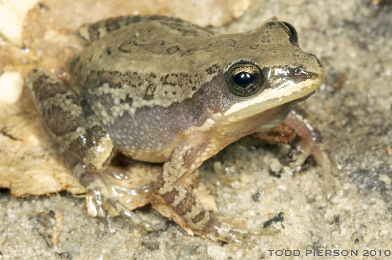 Florida Chorus Frog