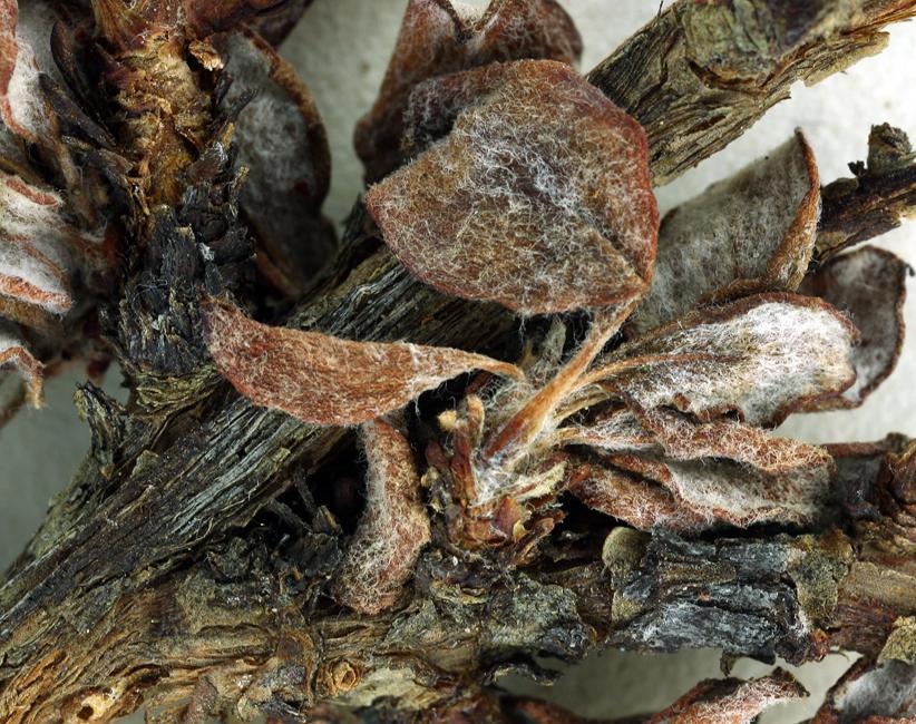 Eriogonum microtheca var. johnstonii