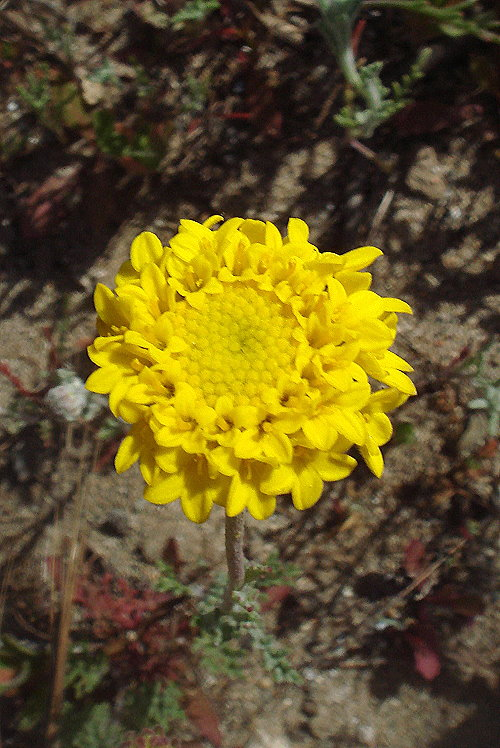 Chaenactis glabriuscula var. orcuttiana
