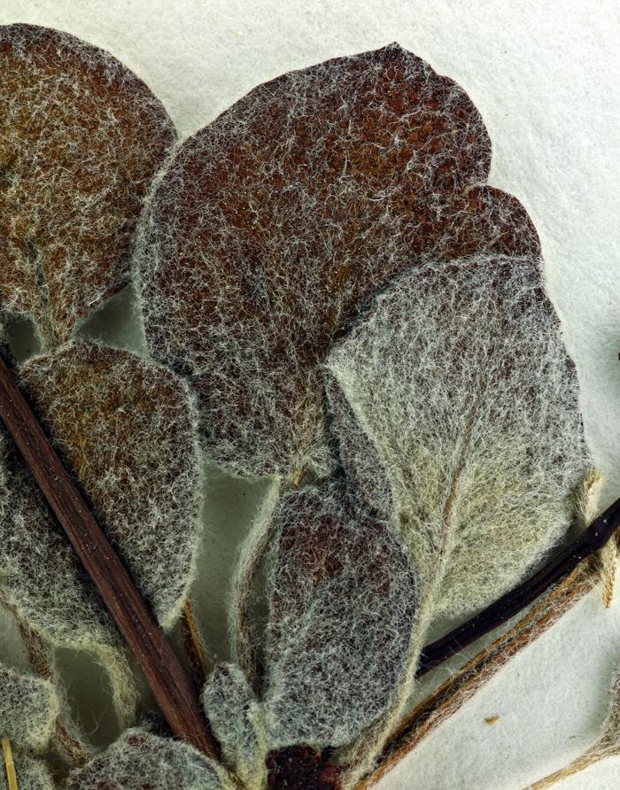 Eriogonum nutans