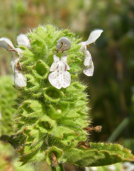 Stachys pycnantha