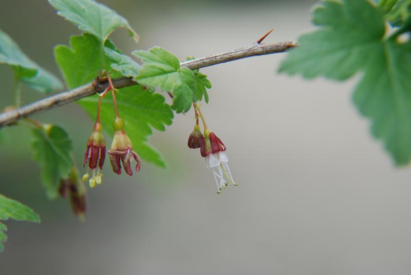 Ribes divaricatum