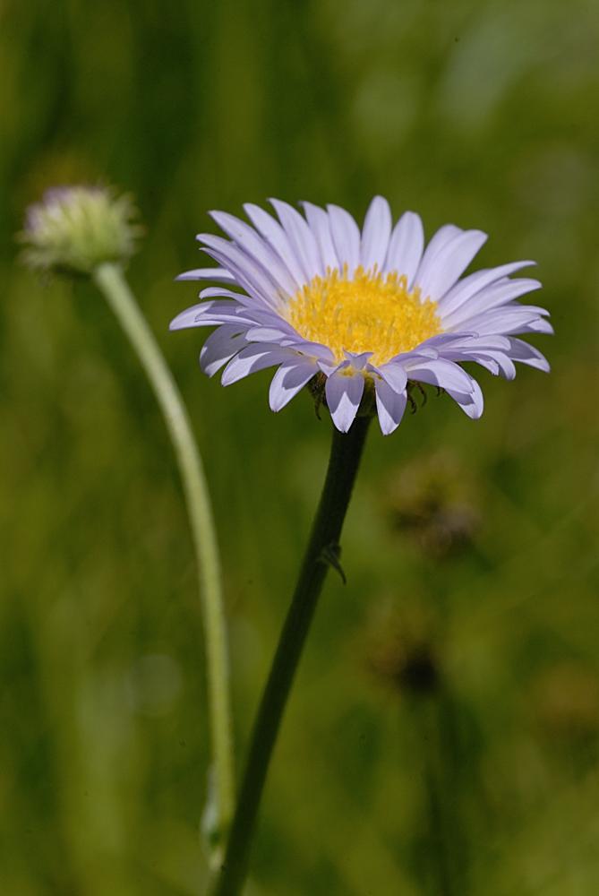 Erigeron peregrinus var. callianthemus