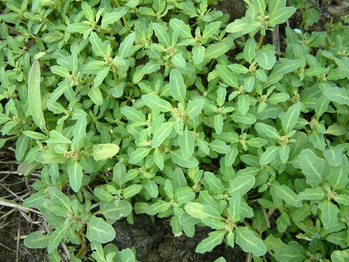 Chenopodium glaucum