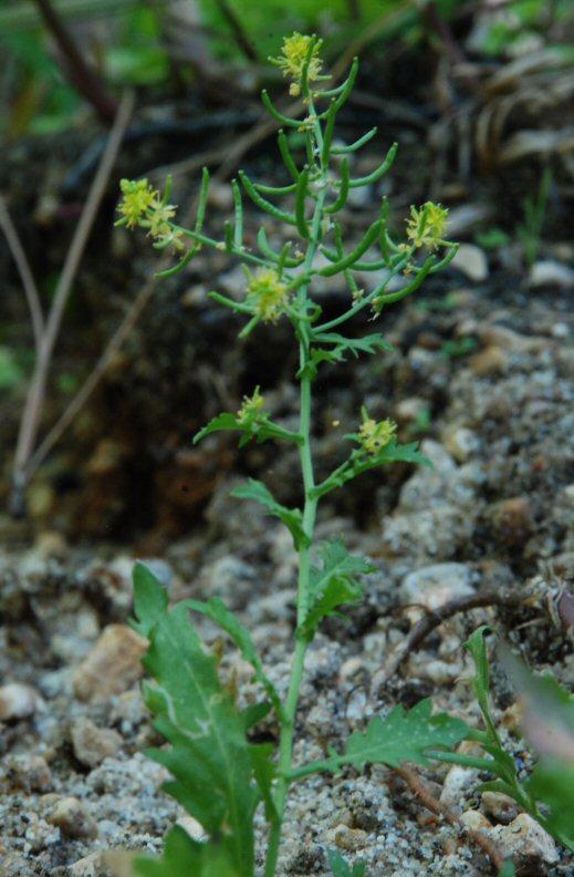 Rorippa palustris ssp. palustris