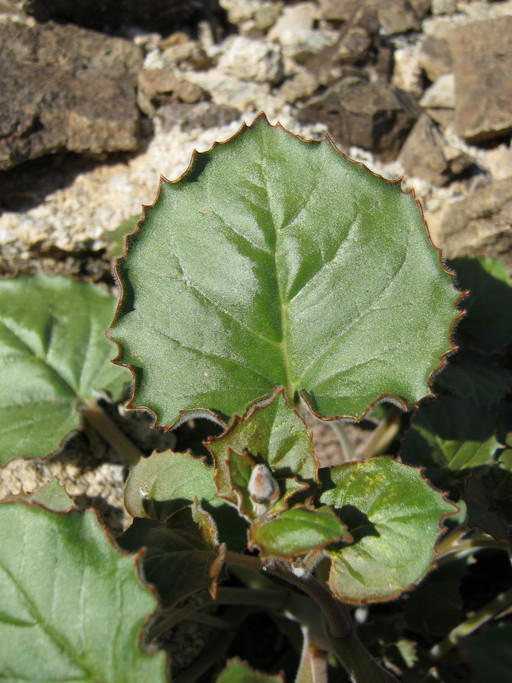 Chylismia arenaria