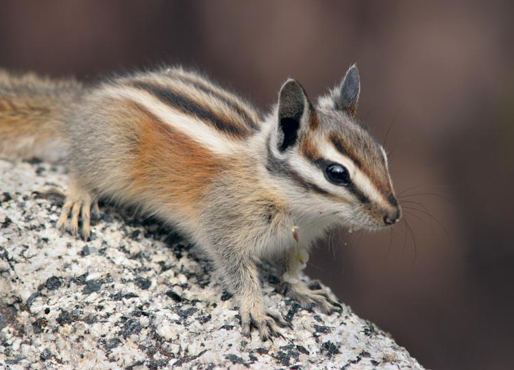 Image result for lodgepole chipmunk