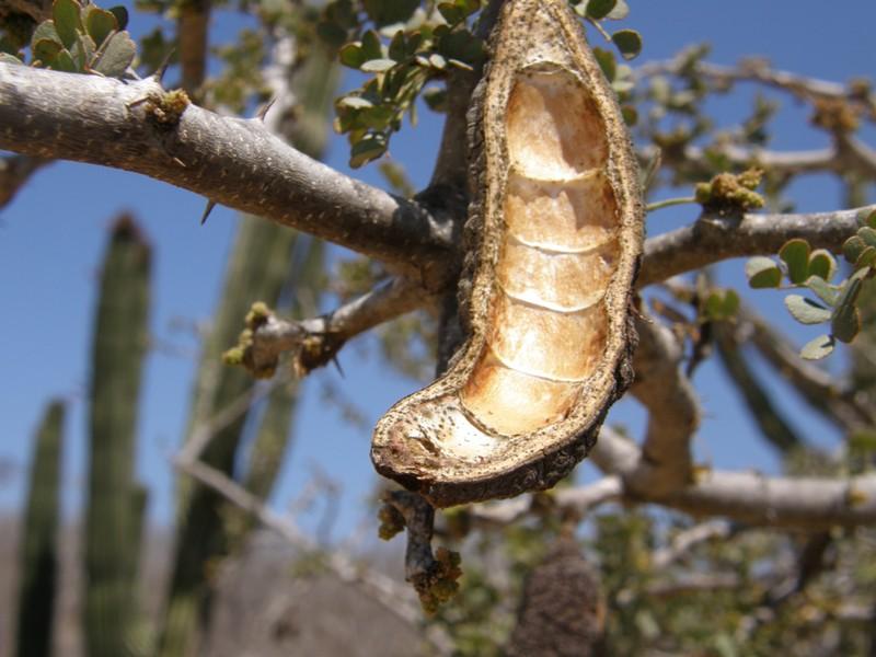 Ebenopsis confinis