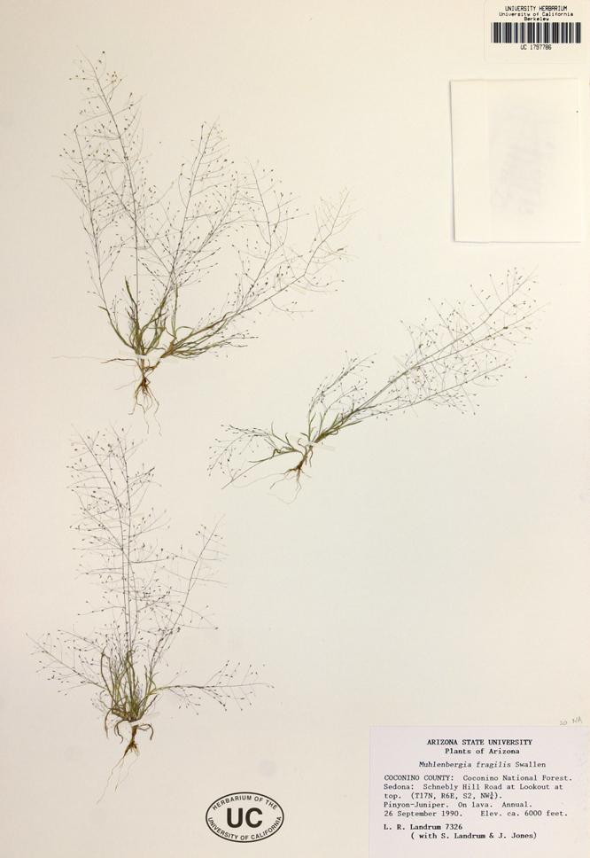 Muhlenbergia fragilis