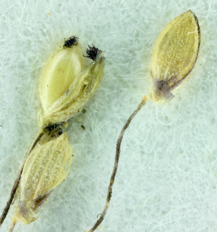 Panicum acuminatum var. lindheimeri