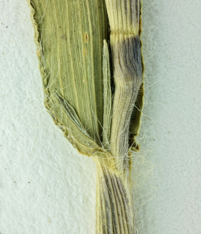 Panicum oligosanthes var. scribnerianum