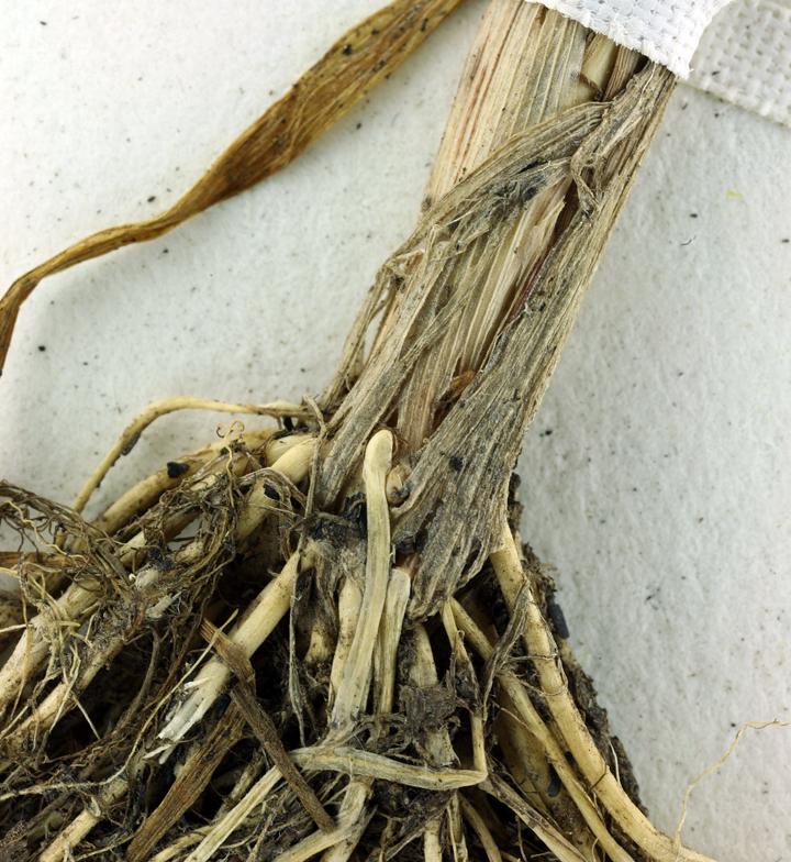 Phalaris angusta