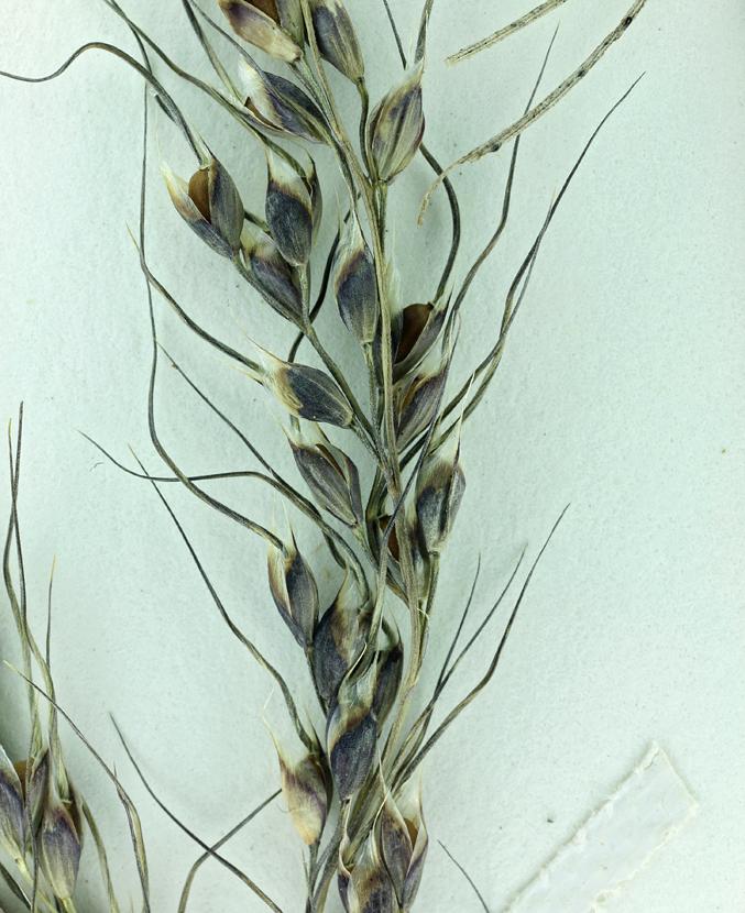 Stipa purpurata