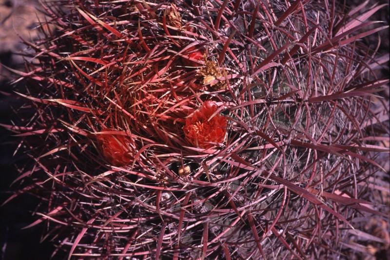 Ferocactus gracilis image