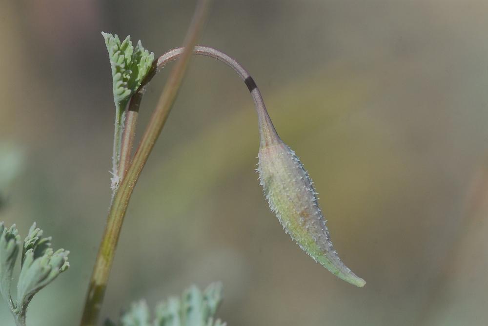 Eschscholzia hypecoides
