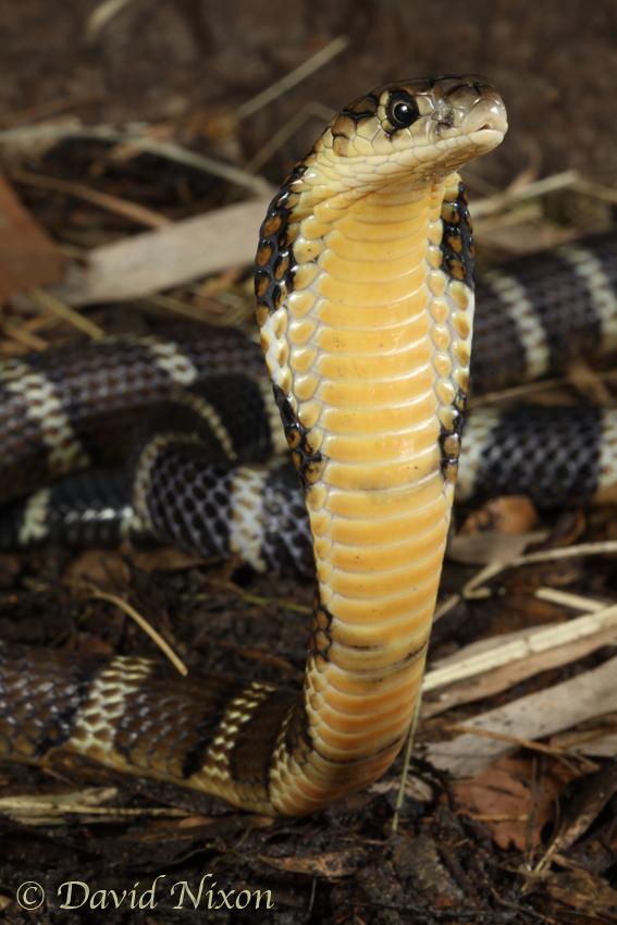 CalPhotos: Ophiophagus hannah; Chinese-banded King Cobra