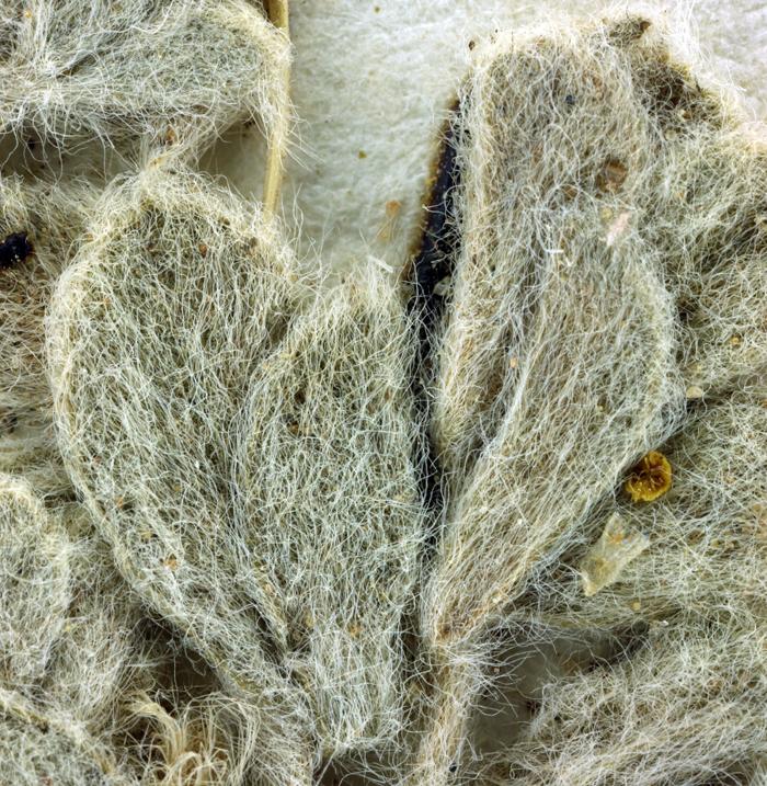 Astragalus subvestitus